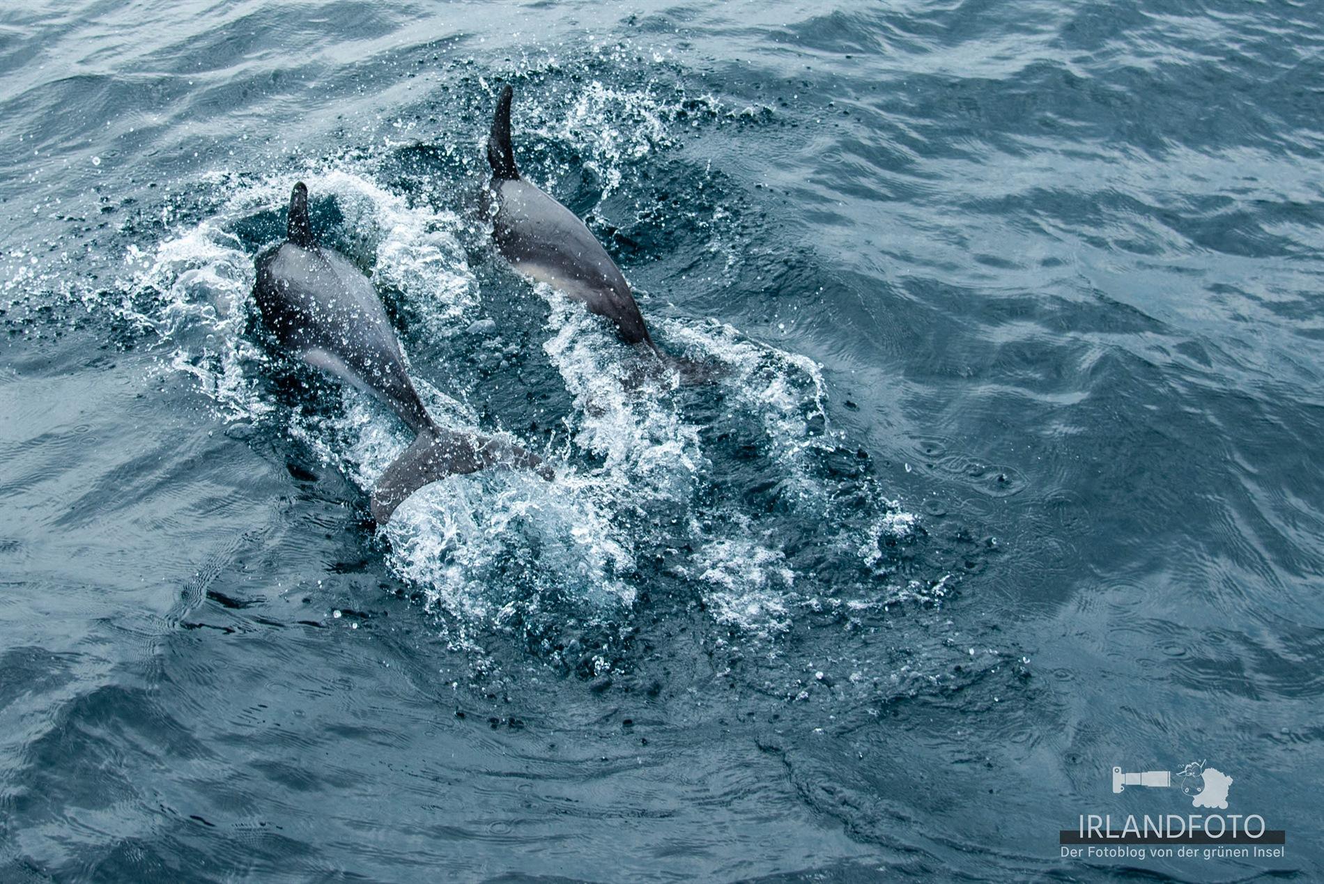 Delfinpaar
