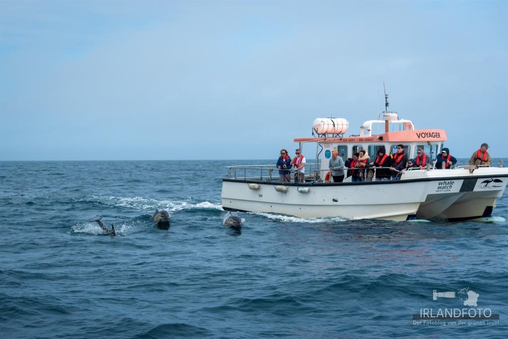 Delfine in Irland