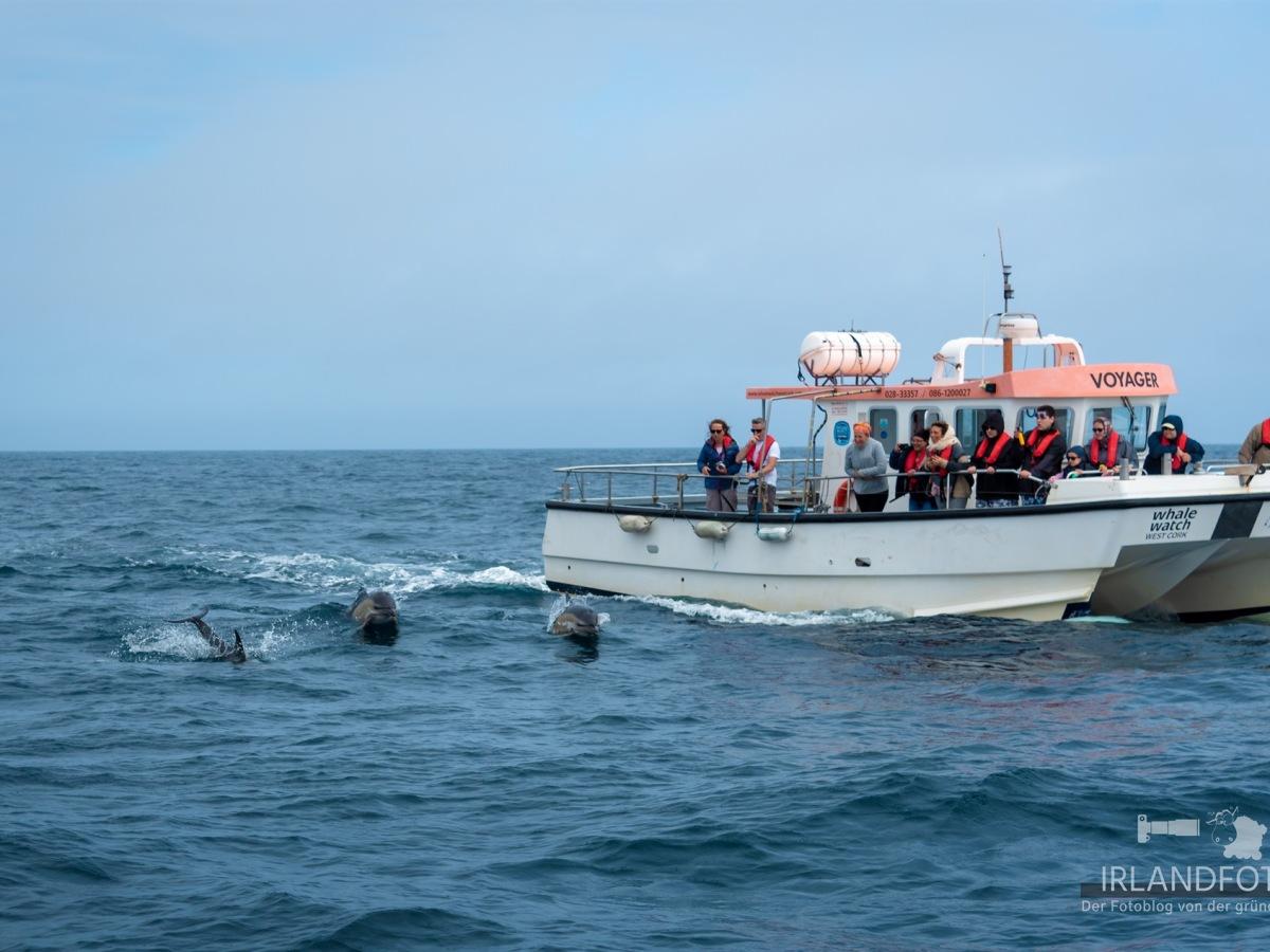Delfine vor Irland