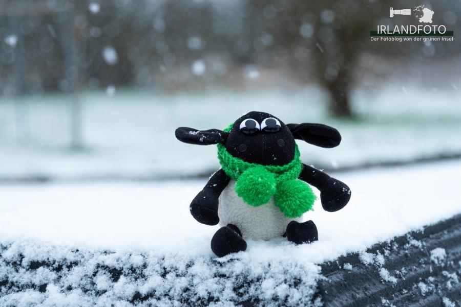 Fionn, das Landschaftsfotoschaf im Schnee