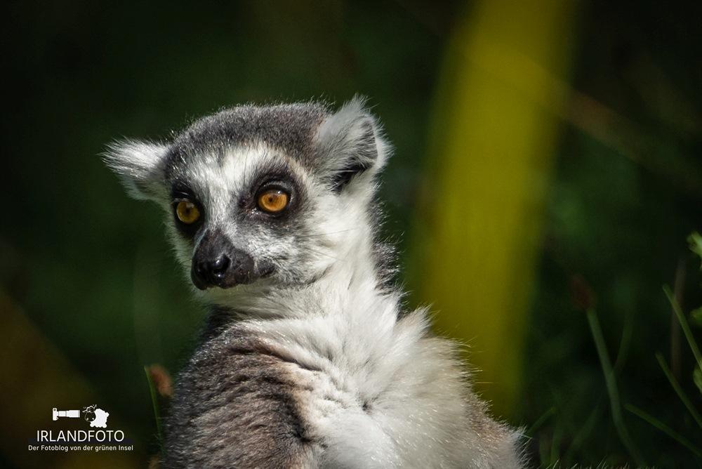 Dublin Zoo - Lemur