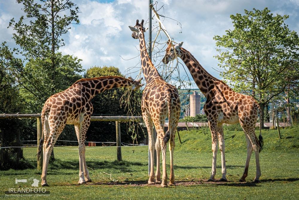 Giraffen im Fota Wildlife-Park
