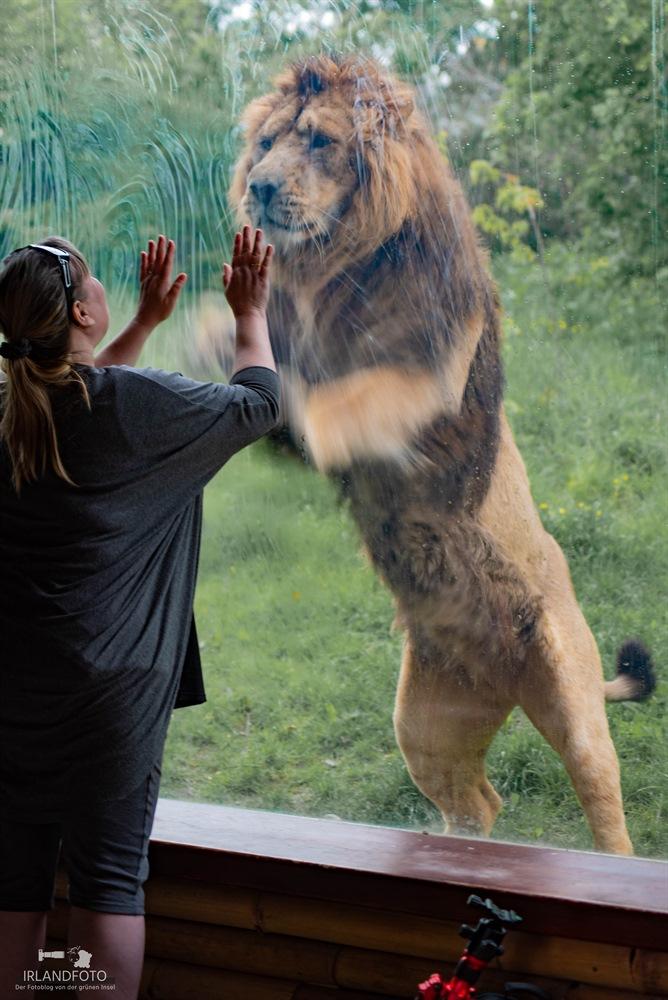 Löwe im Fota Wildlife-Park
