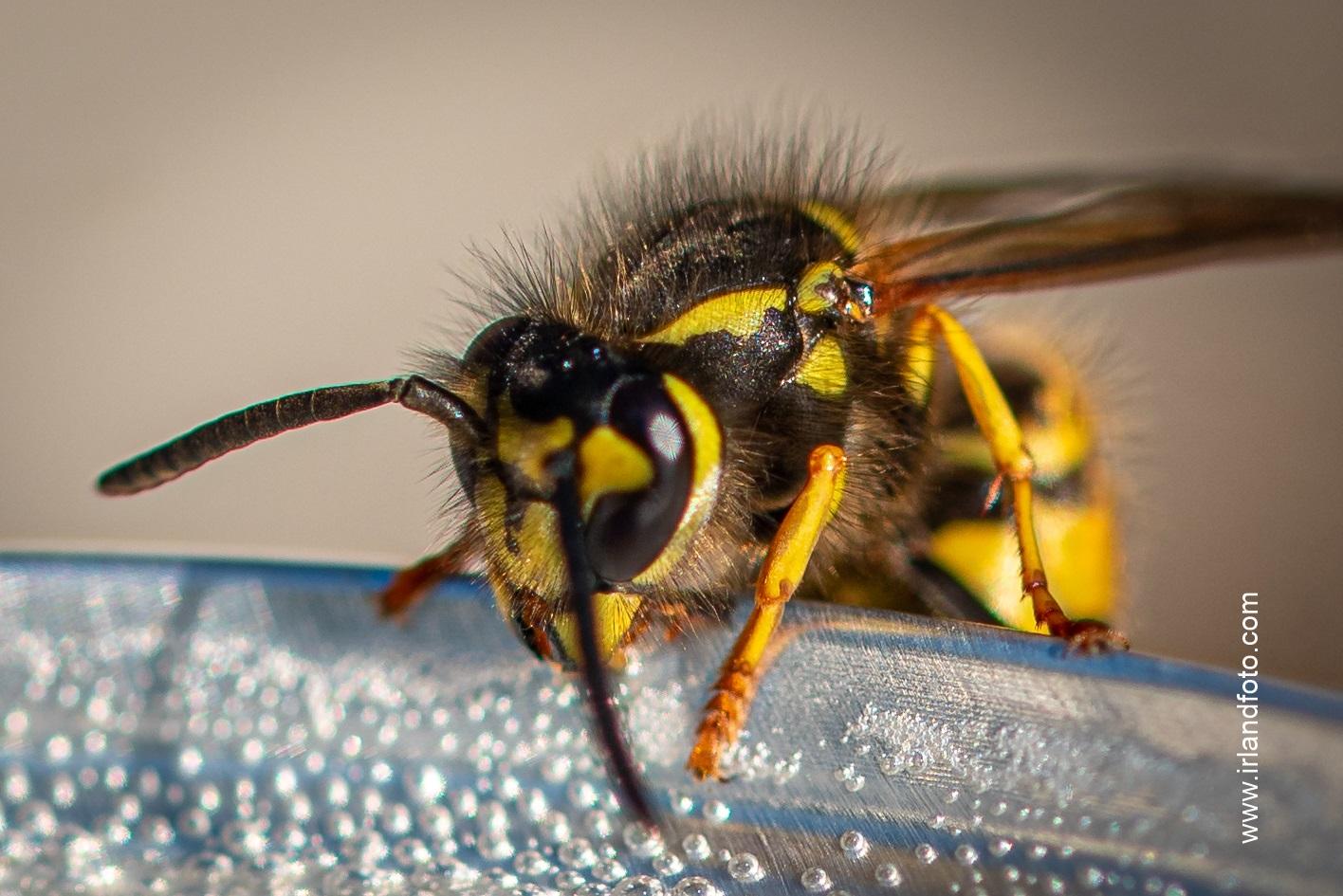 Biene Makroaufnahme